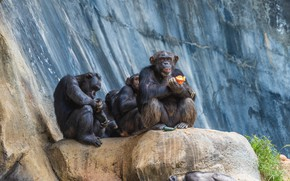 Picture rock, pair, monkey, chimpanzees