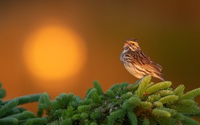 Picture the sun, sunset, branches, background, bird, spruce, This Savannah Sparrow