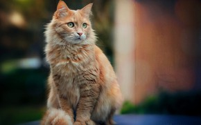 Picture cat, red, bokeh, cat