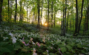 Picture forest, the sun, trees, flowers