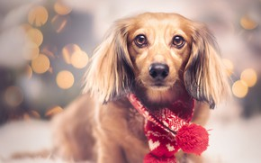 Picture look, red, lights, pose, portrait, dog, blur, Christmas, New year, Dachshund, red, face, sitting, garland, …