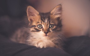 Picture cat, look, kitty, grey, background, portrait, treatment, muzzle, fabric, lies, haze, kitty, striped, soft light, ...