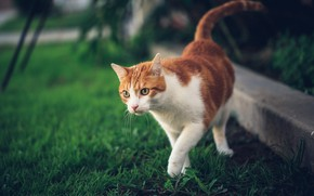 Picture cat, grass, cat, nature, red, walk