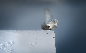 Picture winter, roof, the sky, snow, owl, bird, wings, white, the rise, stroke, snowy owl