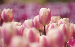 Picture spring, tulips, pink, flowerbed, bokeh