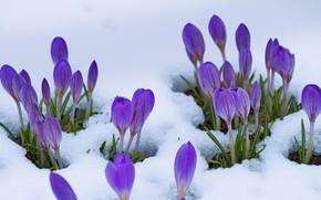 Picture snow, flowers, spring, crocuses