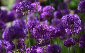 Picture light, flowers, purple, a lot, lilac, bokeh, Allium, decorative bow