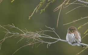 Picture bird, branch, California pygmy owl-the gnome