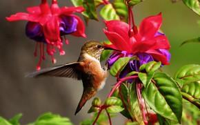 Picture leaves, flowers, nature, Hummingbird, bird, fuchsia