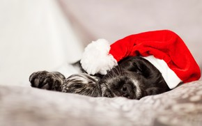 Picture face, holiday, black and white, sleep, portrait, dog, paws, Christmas, sleeping, bed, New year, lies, …