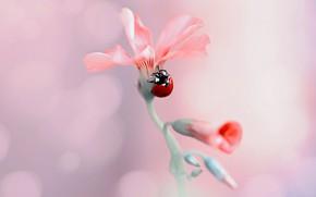 Picture flower, macro, nature, ladybug, beetle, buds, bokeh, Rina Barbieri