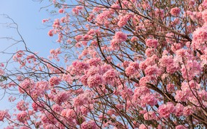 Picture flowers, branches, spring, pink, flowering, pink, blossom, flowers, spring, bloom