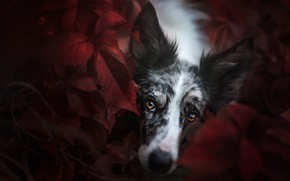 Picture autumn, look, face, leaves, nature, the dark background, portrait, dog, blur, red, lies, brown eyes, …