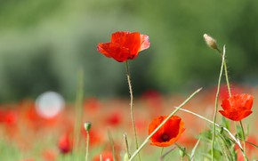 Picture flowers, background, stems, glade, Mac, Maki, red, grass, bokeh, blurred