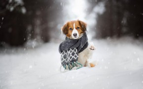 Picture winter, forest, look, face, snow, trees, pose, Park, heat, background, paw, dog, scarf, red, sitting, …