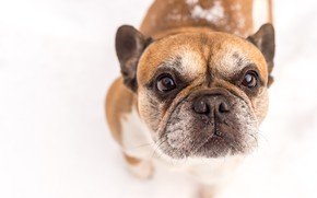 Picture look, face, dog, white background, French bulldog