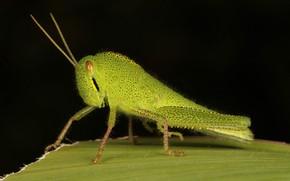 Picture macro, green, grasshopper
