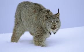 Picture cat, snow, winter, fur, lynx