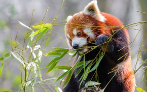 Picture branches, Bush, Panda, red