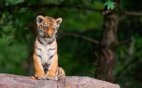Picture photo, tree, stone, tiger