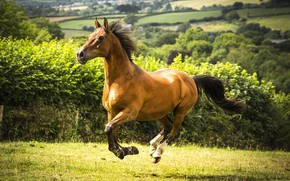 Picture field, horse, horse, meadow