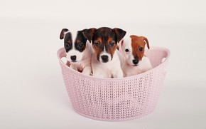 Picture dogs, look, puppies, kids, basket, three, faces, sitting, Jack Russell Terrier