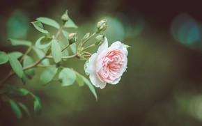 Picture background, rose, branch, buds