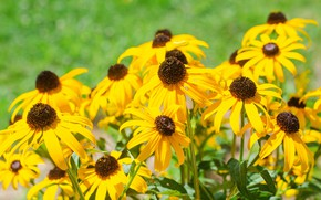 Picture flowers, yellow, garden, rudbeckia