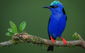 Picture leaves, close-up, background, bird, moss, branch, feathers, beak, green, blue, Red-legged Honeycreeper