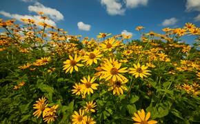 Picture summer, the sky, clouds, flowers, blue, bright, yellow, the bushes, a lot, rudbeckia