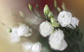 Picture flowers, bouquet, blur, white, bokeh, eustoma