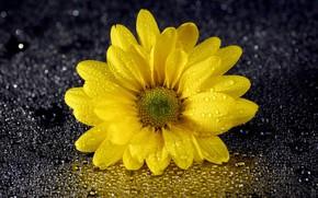 Picture flower, drops, chrysanthemum
