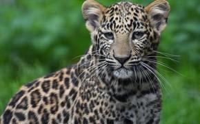 Picture look, portrait, leopard, face, sitting, cub