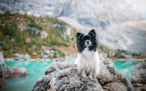 Picture mountains, nature, lake, stones, rocks, dog, dog, pond, Papillon, Papillon