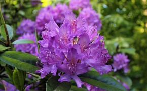 Picture bokeh, azaleas, rhododendrons