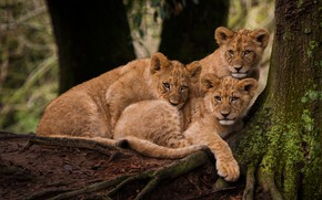 Picture look, roots, tree, three, the cubs, trio, lion, lion, lie, poses, cute, faces, Trinity, handsome, …