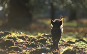 Picture autumn, forest, leaves, light, nature, fog, background, glade, morning, silhouette, haze, walk, boar, bokeh, hog, …
