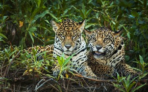 Picture greens, look, leaves, branches, pose, thickets, portrait, pair, Jaguar, the bushes, two, muzzle, lie, jaguars, …