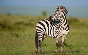 Picture field, look, nature, Zebra, Savannah