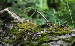 Picture greens, nature, background, tree, Wallpaper, moss, tree bark, the branch is broken