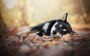 Picture autumn, leaves, dog, puppy, lies, Shiba inu, Shiba