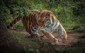 Picture greens, grass, face, nature, tiger, tree, predator, paws, runs