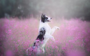 Picture field, language, summer, look, flowers, nature, pose, fog, glade, dog, paws, haze, walk, pink background, …