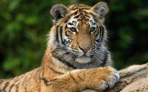 Picture cat, face, tiger, background, portrait, paws, lies, wild cat, tiger, wildlife, tiger, teen