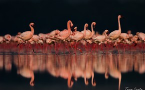 Picture reflection, pink, Flamingo