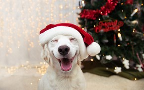 Picture language, white, pose, smile, room, laughter, dog, lights, Christmas, puppy, New year, tree, face, garland, …