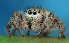 Picture eyes, macro, surface, blue, pose, background, legs, spider, hairy, jumper, jumper, spider, sakunik, the Hoppy, ...