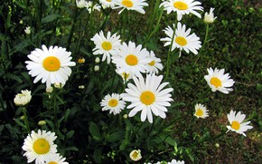 Picture flowers, chamomile, flowerbed