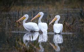 Picture bird, beak, trio, American white Pelican