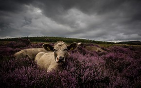 Wallpaper field, forest, look, flowers, clouds, overcast, stay, portrait, cow, cows, pasture, meadow, lies, bushes, Heather, ...